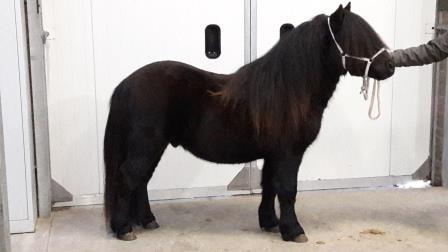Hengst / Stallion: Job van Stal Nieuwemoed, zwart, 104 cm. geb: 2015 v. Caz van Stal Nieuwemoed x Package van Stal Nieuwemoed