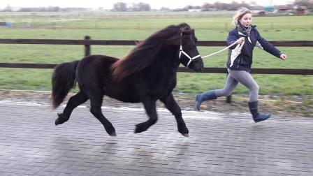 Hengst / Stallion Janco van de Vijfmorgen, zwart, 99 cm, geb: 2015 v. Eltjo van Veldhuizen x Fleur van de Vijfmorgen